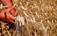Devrekani'de, 'Organik Yulaf ve Siyez Buğdayı Üretim Projesi'Bilgilendirme Toplantısı Gerçekleştirildi.